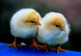 浅析蛋鸡养殖不赚钱原因及对策
