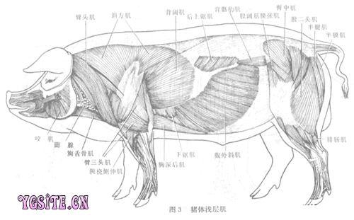 腓骨解剖图_猪解剖学图谱_兽医图谱_++阳光畜牧网-畜牧养殖-动物保健++